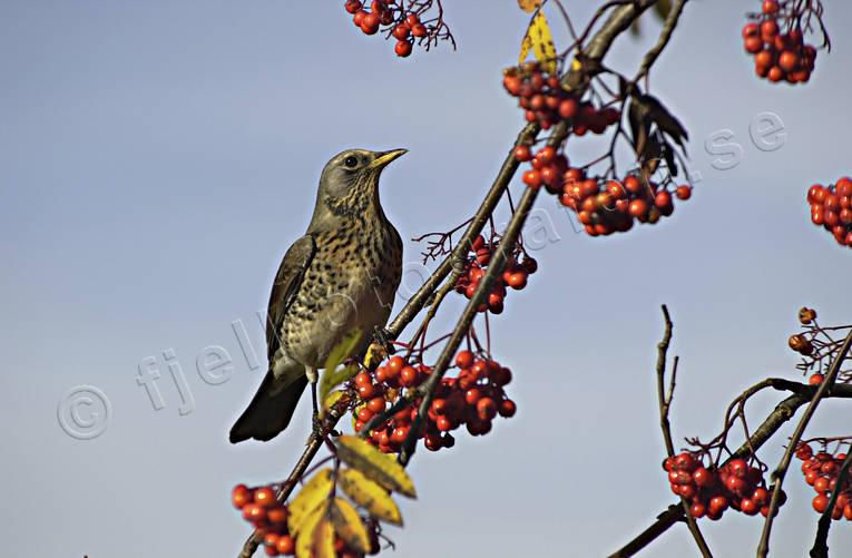 fåglar som äter rönnbär