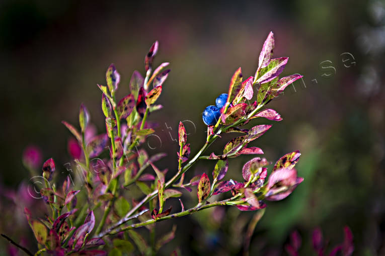 blåbärsris