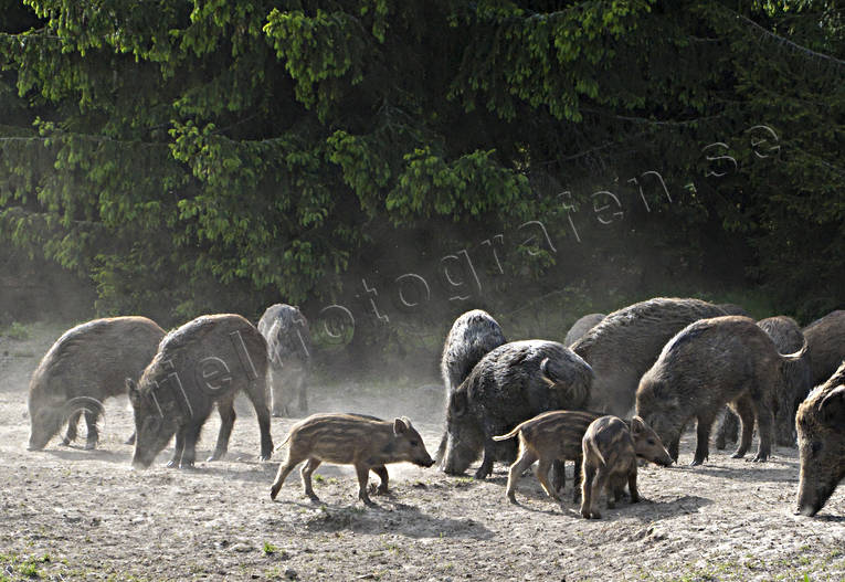 varför utfodra vildsvin
