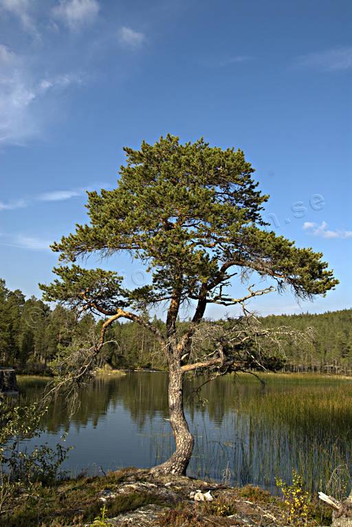 Barrtrдd Forsеn Natur Skog Skogsmark Tall Vindpinad Vresig